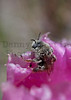 Bee on Prickly Pear bloom<br /> Moffat County, Colorado.