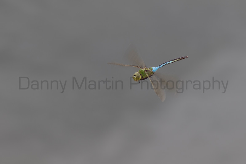 Common Green Darner in flight<br /> Brewster County, Texas