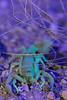 Arizona Bark Scorpion under UV and white lights<br /> Arizona
