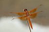 Flame Skimmer<br /> Brewster County, Texas