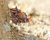 Comma butterfly.  Konza Prairie, Kansas.