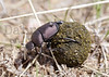 Dung Beetle working its magic. Pawnee National Grassland, Colorado.