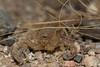 Arizona Bark Scorpion<br /> Arizona
