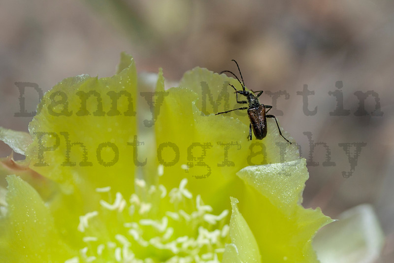 Beetle on Prickly Pear bloom<br /> Great Sand Dunes National Park, Colorado.