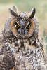 Long-eared Owl (juvenile), Weld County, Colorado
