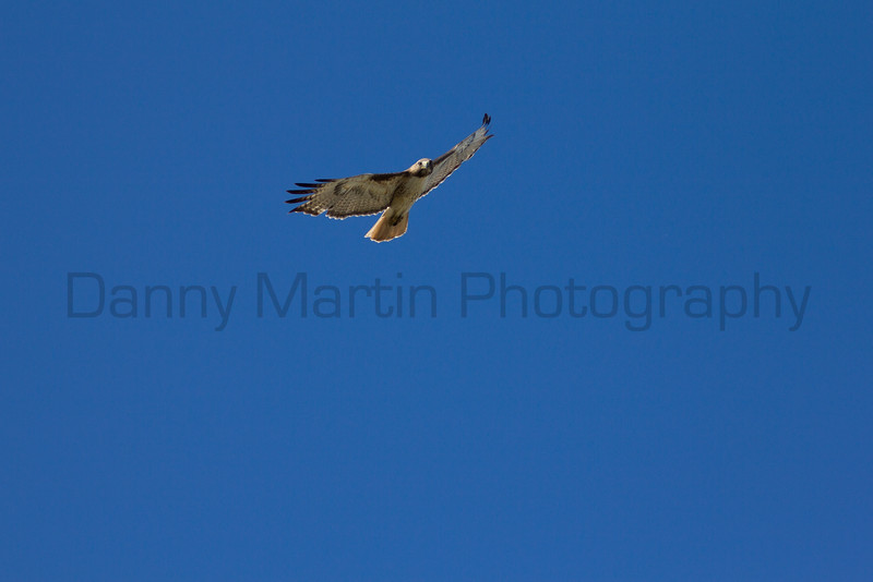 Red-tailed Hawk soaring<br /> Randall County, Texas.