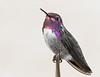 Costa's Hummingbird (adult male)<br /> Pima County, Arizona