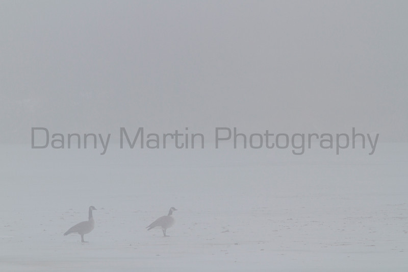 Cackling Geese in fog<br /> Larimer County, Colorado