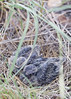Mourning Doves (nestlings)<br /> Wither's Canyon, Comanche National Grassland, Otero County, Colorado.