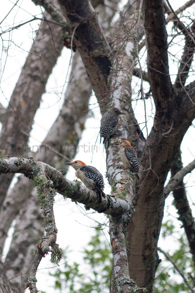 Red-bellied Woodpeckers foraging<br /> Smithville, Texas