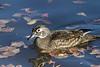 Wood Duck hen<br /> Arapahoe County, Colorado.
