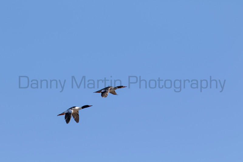 Common Mergansers<br /> Larimer County, Colorado