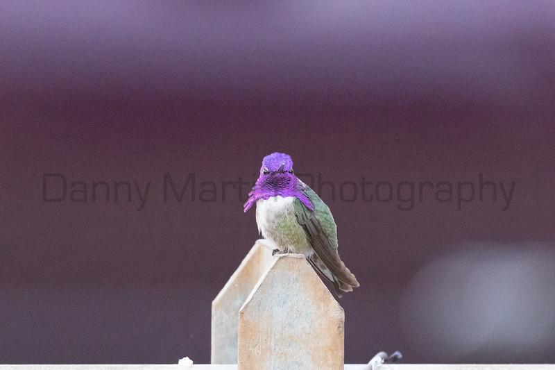 Costa's Hummingbird (male) perched on a fence<br /> Pima County, Arizona