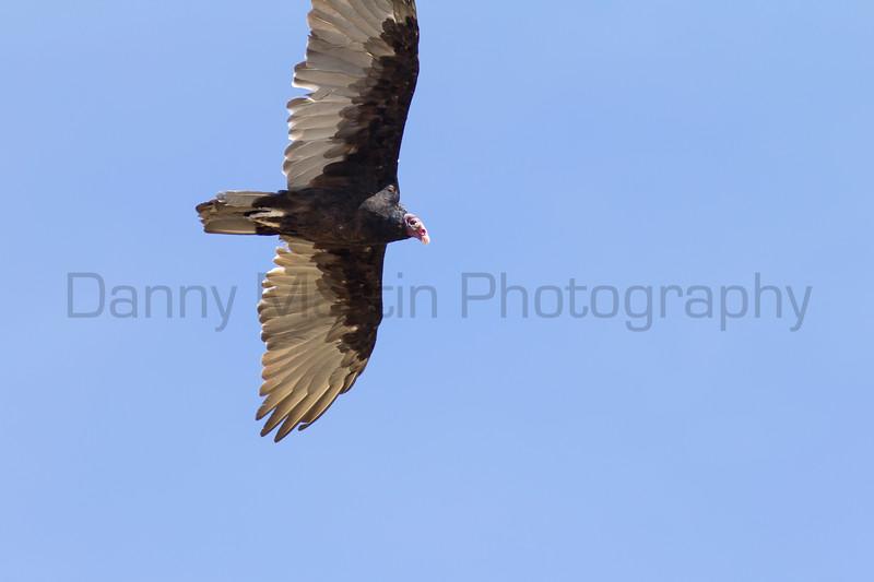 Turkey Vulture<br /> Las Animas County, Colorado