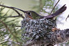 Broad-tailed Hummingbird (on nest)  <br /> Rocky Mountain National Park, Colorado.