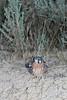 American Kestrel (juvenile)<br /> Moffat County, Colorado.