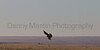 Northern Harrier (female hunting)<br /> El Paso County, Colorado.