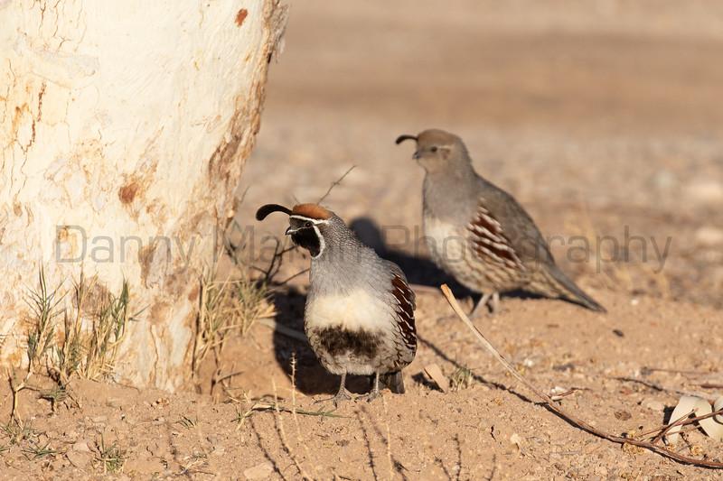 Gambel's Quail (male & female)<br /> Pima County, Arizona