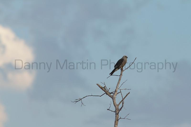 Mississippi Kite<br /> Barber County, Kansas.
