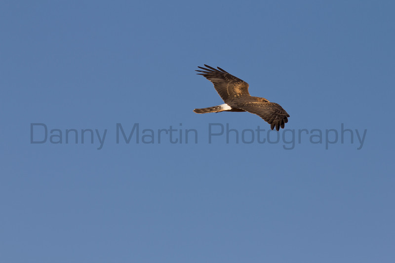 Northern Harrier<br /> El Paso County, Colorado.