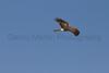 Northern Harrier<br /> El Paso County, Colorado.