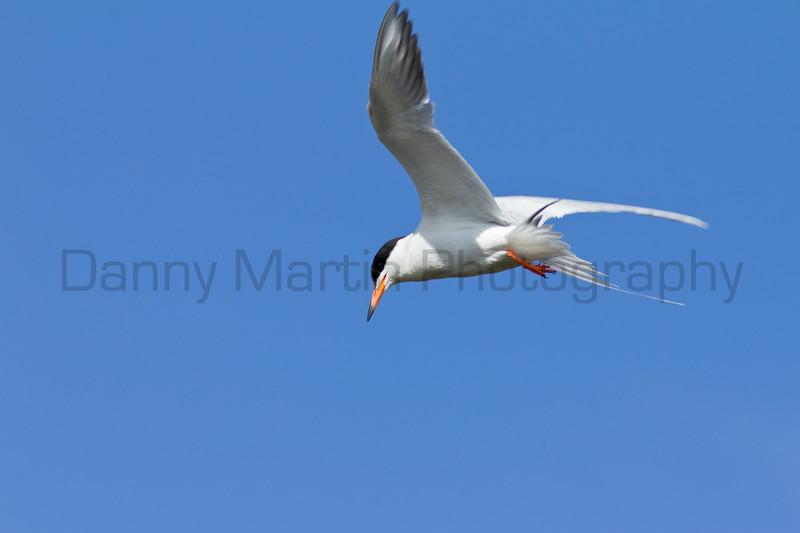 Forster's Tern in flight<br /> Jackson County, Colorado.