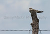 Common Nighthawk on fencepost<br /> Logan County, Kansas.
