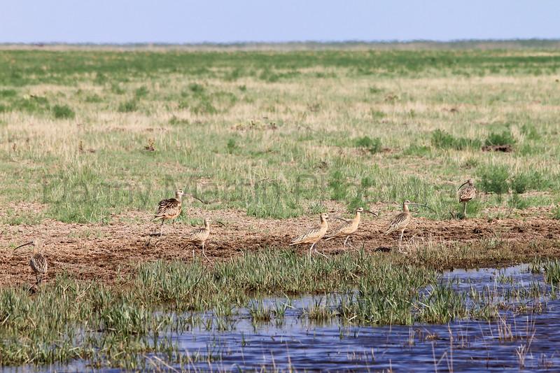 Long-billed Curlews (foraging)<br /> Rita Blanca National Grassland, Dallam County, Texas.