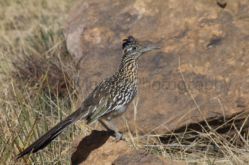 Greater Roadrunner<br /> Picture Canyon, Comanche National Grassland, Baca County, Colorado.