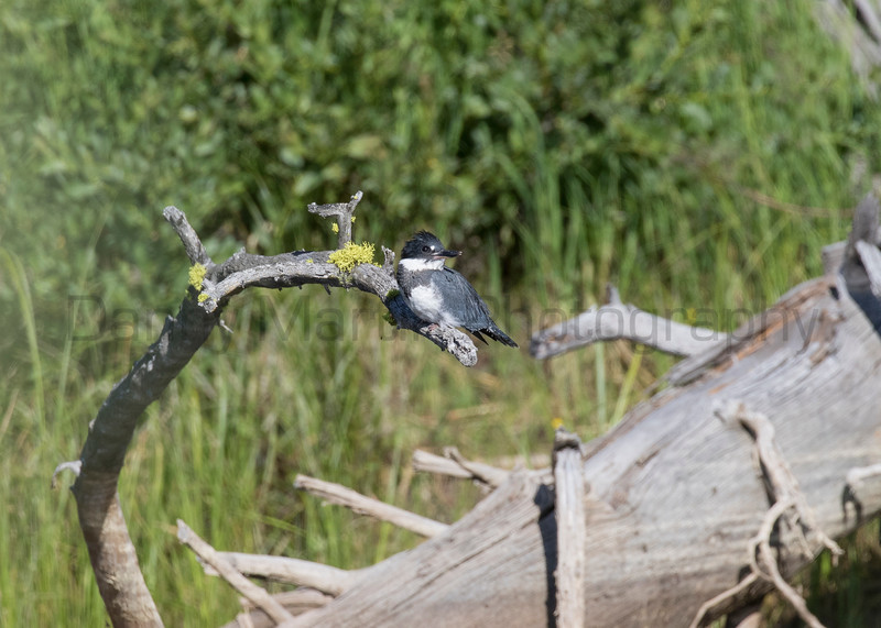 Belted Kingfisher (male)<br /> Park County, Wyoming
