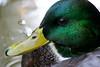 "Mallard drake.  <br /> Rocky Mountain National Park, Colorado.<br /> *This photo was printed as ""August"" in the 2016 Colorado Lottery ""Taking Flight"" bird calendar."