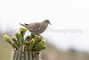 White-winged Dove on Saguaro<br /> Arizona