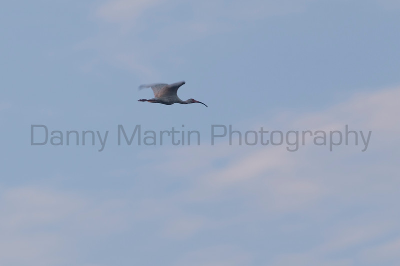 White Ibis in flight, Tammany Parish, Louisiana