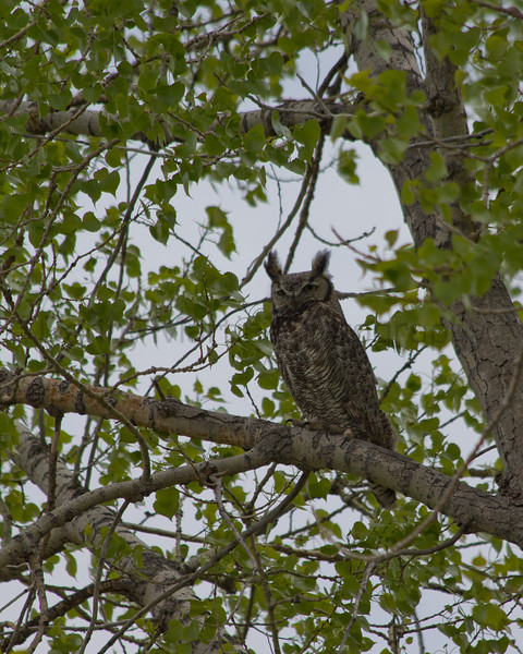 Great-horned Owl.  <br /> Broomfield County, Colorado.