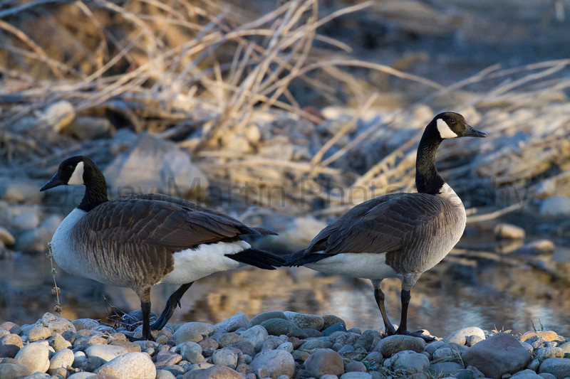 Canada Geese<br /> Poudre River, Larimer County, Colorado