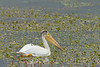 American White Pelican<br /> Jackson County, Colorado.