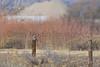 American Kestrel (adult male)<br /> Larimer County, Colorado.