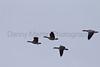 Cackling Geese<br /> Poudre River, Larimer County, Colorado.