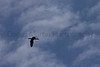 Double-crested Cormorant in flight<br /> Broomfield County, Colorado