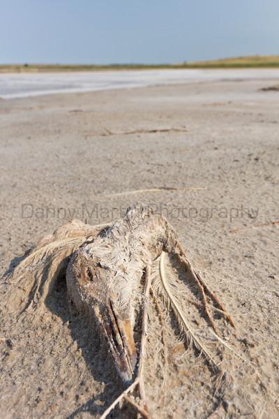 Sandhill Crane remains<br /> Bailey County, Texas