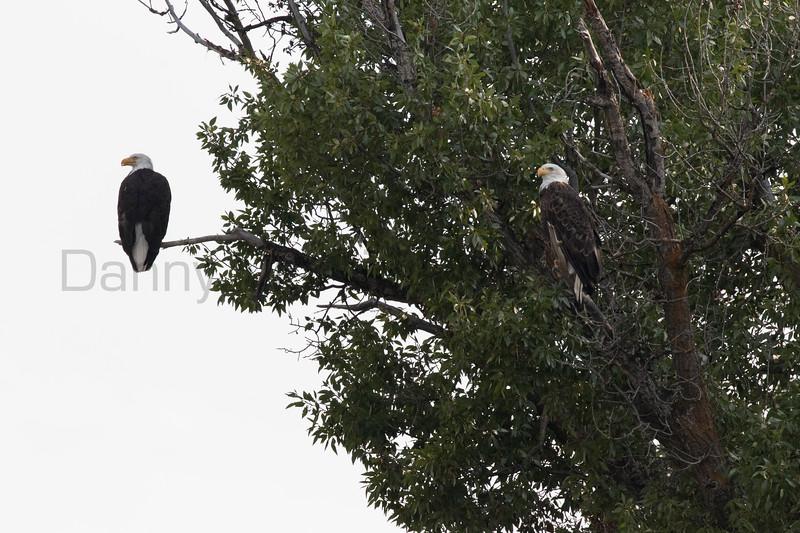 Bald Eagle<br /> Teton County, Wyoming
