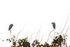 Cattle Egrets<br /> Tammany Parish, Louisiana