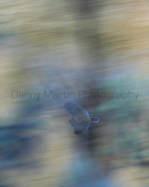 Long-eared Owl in flight<br /> Moffat County, Colorado.
