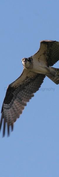 Osprey in flight.  Near Fort Collins, Colorado.