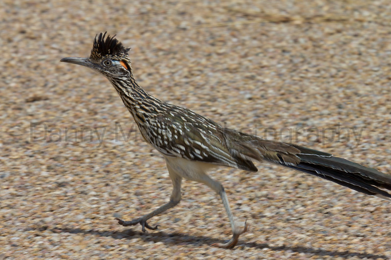 Greater Roadrunner, Palo Duro Canyon State Park, Texas.