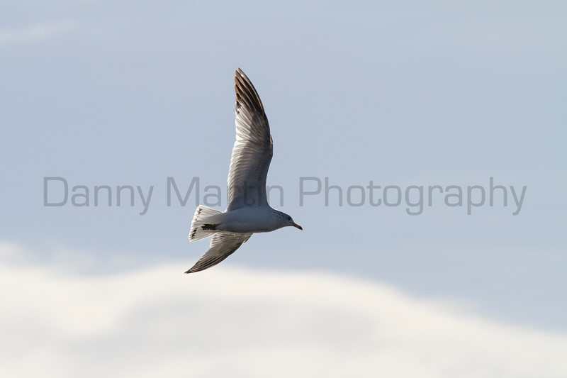 Ring-billed Gull<br /> Weld County, Colorado