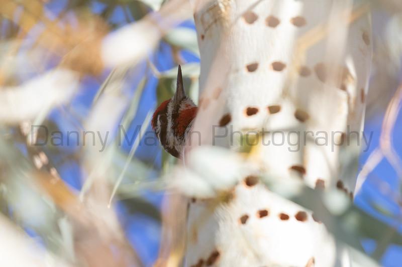 Red-naped Sapsucker<br /> Pima County, Arizona