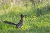 Greater Roadrunner with Prairie Lizard prey<br /> Randall County, Texas