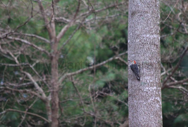 Red-bellied Woodpecker, female<br /> Alpharetta, Georgia