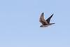Prairie Falcon <br /> Pima County, Arizona